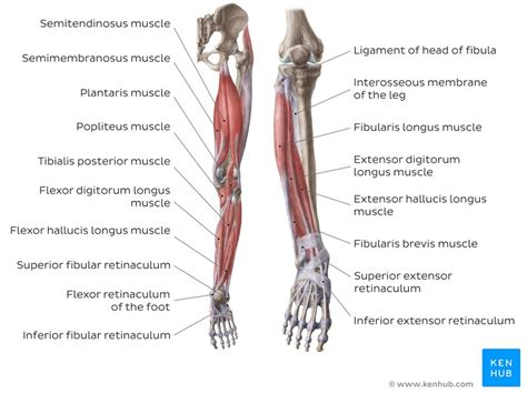Skeletal muscles are attached to the bones by tendons. Lower extremity anatomy: Bones, muscles, nerves, vessels | Kenhub