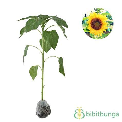 tanaman bunga matahari lokal bibitbungacom