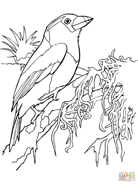 toucan barbet coloring page  printable coloring pages