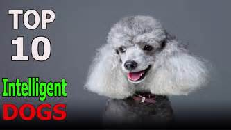 Top 10 Most Intelligent Dog Breeds Top 10 animals YouTube