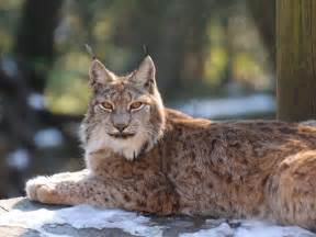 lynx cats animal galleries pictures of animals from around the