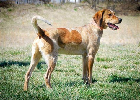 do walker coonhounds shed redbone coonhound information and facts breeds