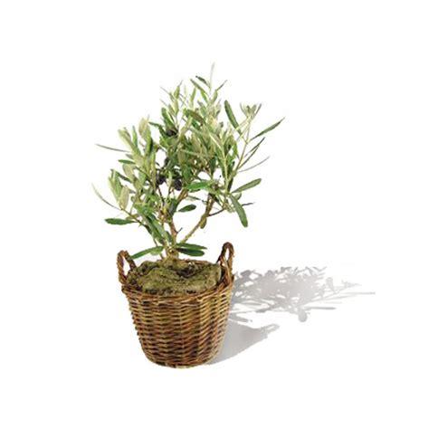 cours cuisine colmar un olivier en pot 28 images comment planter un olivier