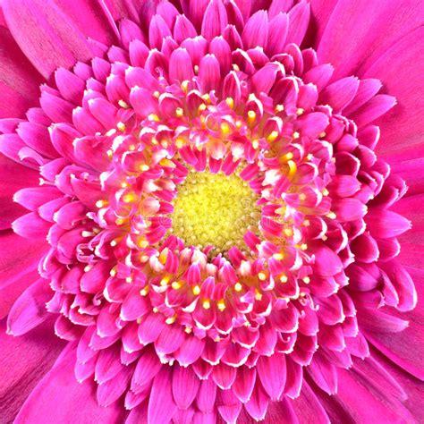 Inviare fiori bianchi è sempre la scelta giusta ! Fiore Dentellare Di Colore Con Il Centro Giallo Fotografia Stock - Immagine di petalo, fiori ...