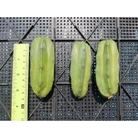 ตอบลู ตัดสด Cactus แคคตัส กระบองเพชร ไม้อวบน้ำ ไม้กราฟ ...