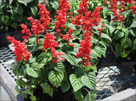 Do You Winter Gardening Blues by Plant Id Flowers And Foliage Salvia Florida Master