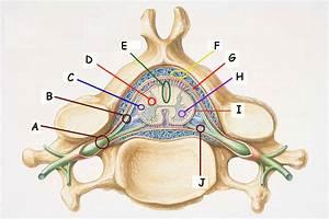 Bio 130 Spinal Chord