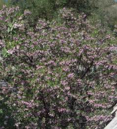 Small Flowering Shrubs with Pink Flowers