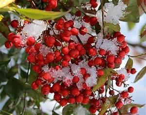 Buah Merah - Homeopathy Alternative Medicine