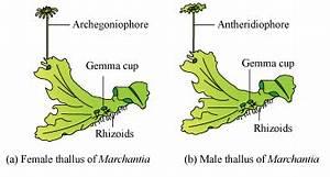 Riccia  Marchantia  Funaria Diagrams - Science