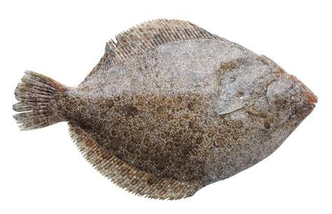 cuisiner un poisson cuisiner un turbot recette de turbot crme et copeaux de