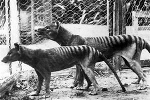 People keep seeing this extinct creature in Australia