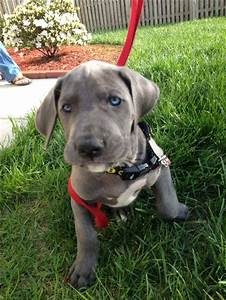 162 best Great Danes images on Pinterest | Great danes ...