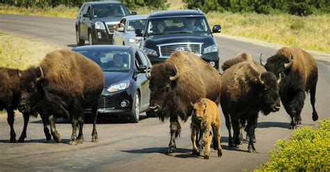 wildlife loop scenic drives activities custer state