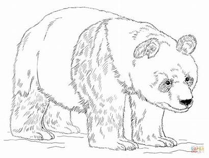 Panda Coloring Giant Drawing Draw Bear Pages