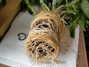 Orchideen Umtopfen Wurzeln Schneiden : habe ich meine zygopetalum beim umtopfen zerst rt pflegen schneiden veredeln green24 ~ A.2002-acura-tl-radio.info Haus und Dekorationen