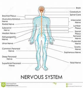 Nervous System Stock Vector  Illustration Of Biological