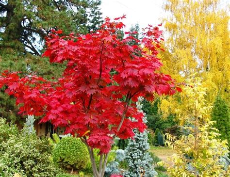 japanese maple fall acer japonicum attaryi fall color pet memorials pinterest acer palmatum shrubs and