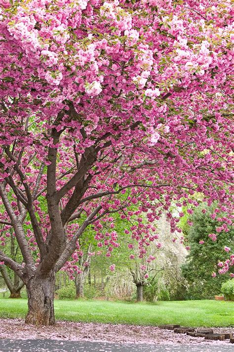 trees with pink blossoms 11 best images about trees of spring on pinterest trees terrace and pink flowers