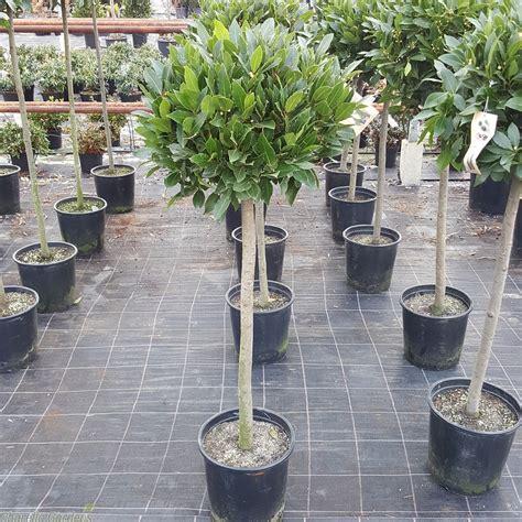 laurus nobilis bay tree standard bay trees charella