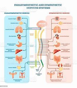Ilustraci U00f3n De Sistema Nervioso Humano Diagrama De La