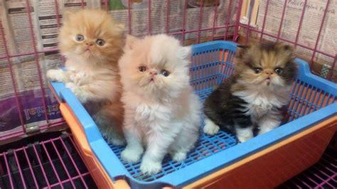 jual anak kucing persia cimahi