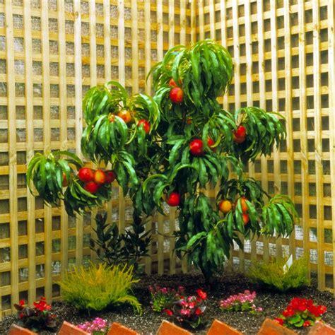 arbre fruitier nain en pot nectarinier nain rubis 174 en pot plantes et jardins