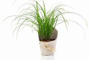 Wann Schneidet Man Gräser : ziergr ser pflanzen pflegen schneiden und mehr ~ Frokenaadalensverden.com Haus und Dekorationen