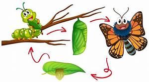 Diagram Of Butterfly Metamorphosis