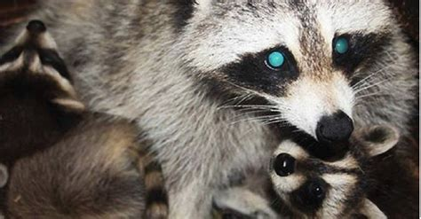 owning a raccoon blind raccoon who lost her own babies becomes everyone else s mother