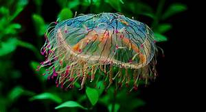 Flower Hat Jelly (Olindias formosa)_1 | Josh More | Flickr