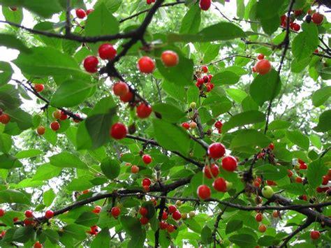 coltivazione ciliegio frutteto  coltivare il ciliegio