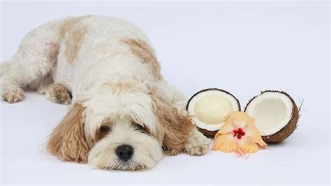 coconut oil  dogs health benefits  usage barking