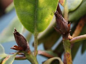 Braune Blätter Am Rhododendron : taube knospen am rhododendron ~ Lizthompson.info Haus und Dekorationen