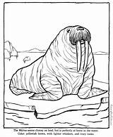 Coloring Zoo Pages Walrus Animal Animals Sheets Printable Printing Help Raisingourkids Sheet sketch template
