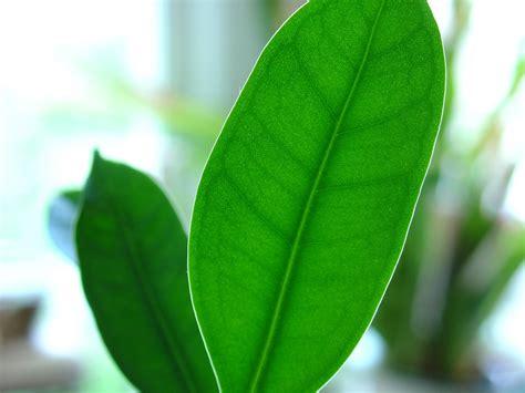 large leaf file tiny leaf big leaf jpg wikimedia commons