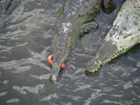 tarcoles river crocodile feeding costa rica