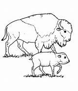 Bison Coloring Printable sketch template