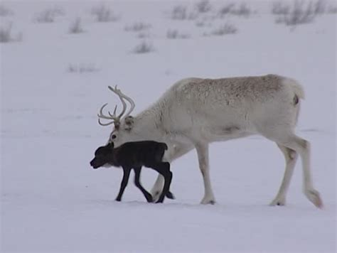 white tailed deer   snow uhd stock video stock