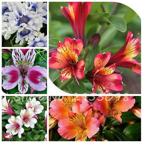 free shipping 100 pcs bag alstroemeria seeds peruvian