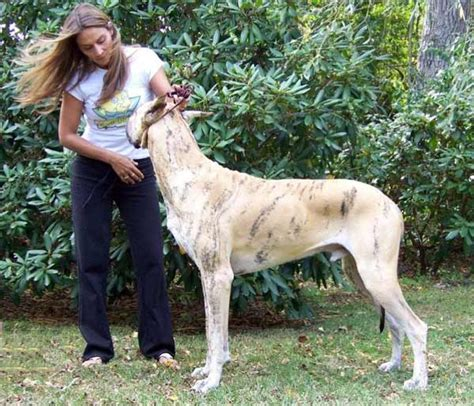 Do All Dogs Shed Hair by Grooming A Great Dane