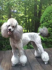 Different Styles Poodle Grooming