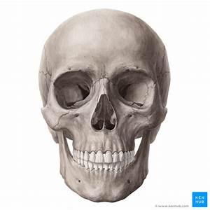 Skull - Anatomy, Structure, Bones, Nerves | Kenhub