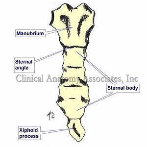 Sternal Angle  Of Louis