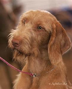 Vizsla (Wirehaired) Breed Information: History, Health ...