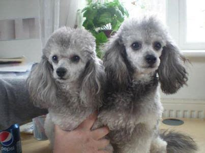gorgeous white silver phantom toy poodles oodle
