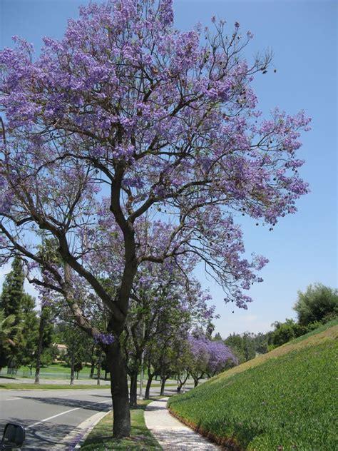 jacaranda tree occasionalpiece jacaranda trees