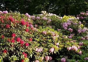 Immergrüne Hecke Schnellwachsend : rhododendron hecken wichtige schnell tipps zu den ~ Lizthompson.info Haus und Dekorationen