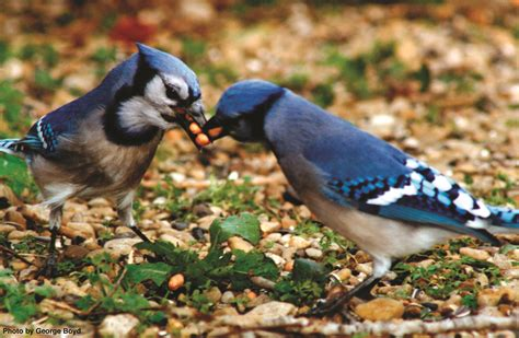 blue jay food