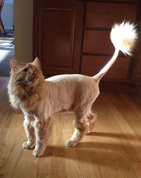 cats  lion cuts kittens cat lion cut cats cat